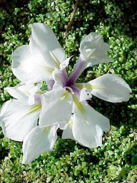 Iris des rives 'Snowdrift'