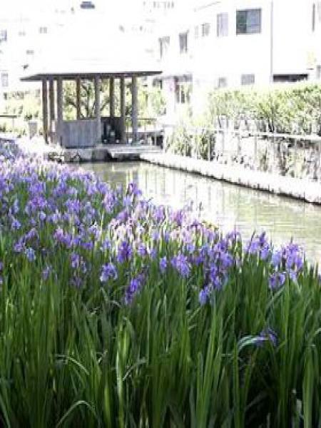 Iris des rives