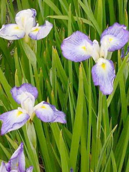Iris japonais 'Gracieuse'
