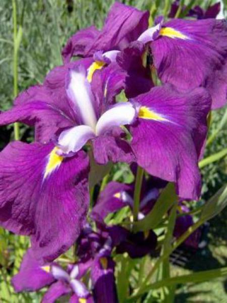 Iris japonais 'Royal Banner'