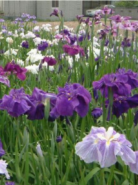 Iris japonais