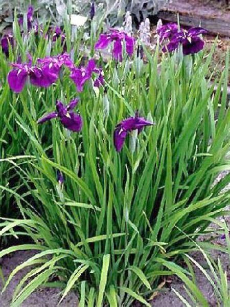 Iris japonais - Iris ensata - Le Jardin du Pic Vert