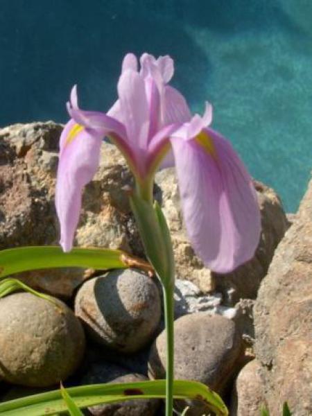 Iris kaempferi 'Darling'