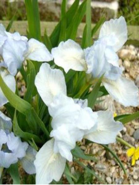 Iris nain 'Bright White'