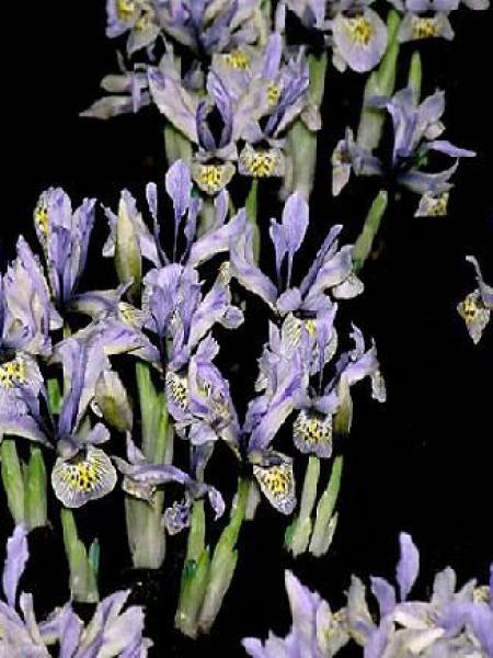 Iris reticulé 'Katherine Hodgkin'