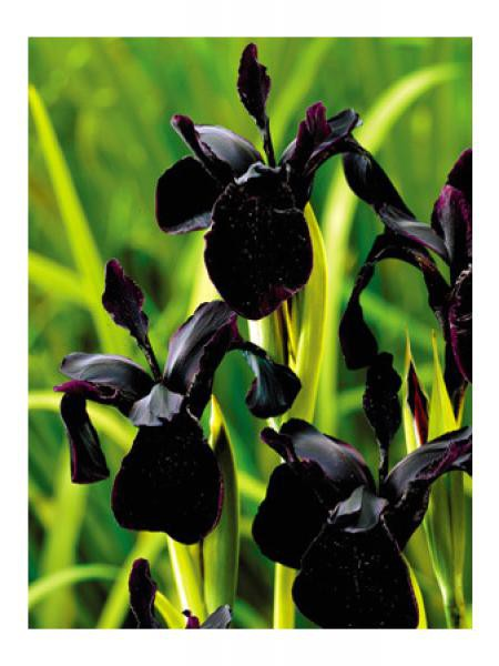 Iris x chrissy 'Black Form'