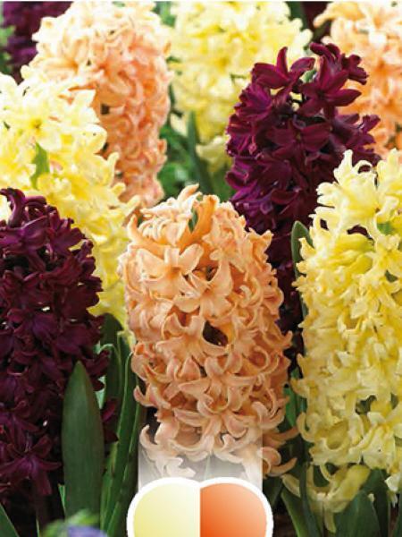 Jacinthe 'Oriental Blend'