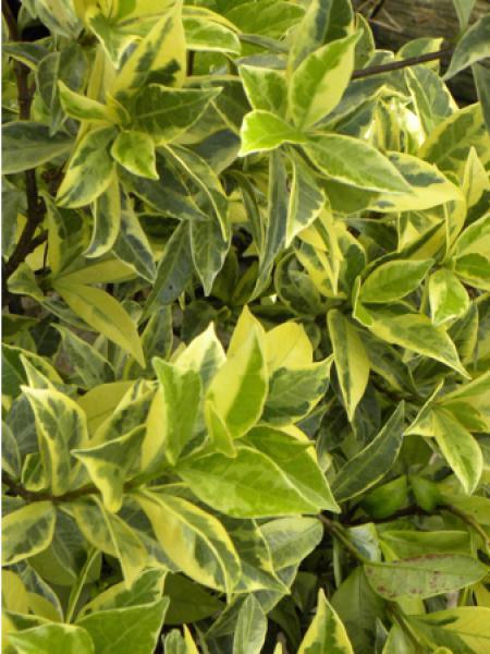 Plantes grimpantes feuillage persistant le jardin du - Taille du jasmin etoile ...
