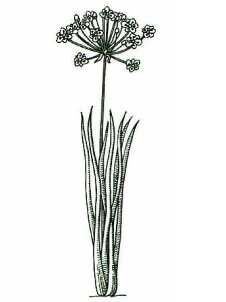 Jonc fleuri