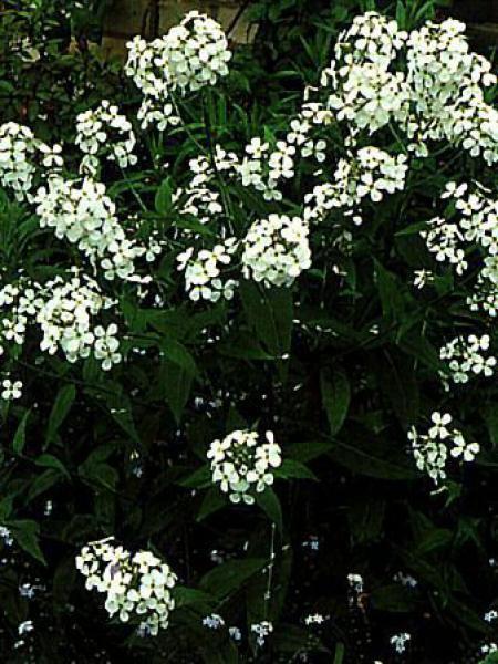 Julienne des jardins 'Albiflora'