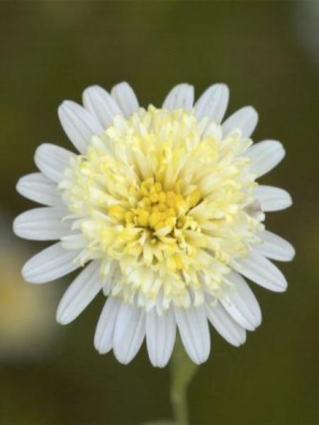 Kalimeris pinnatifida 'Var. Hortensis'