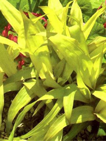 Laîche à larges feuilles 'Lemon Zest'