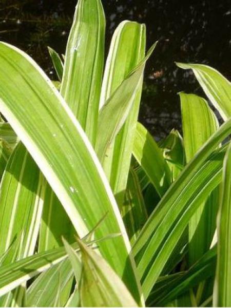 Laîche à larges feuilles 'Variegata'