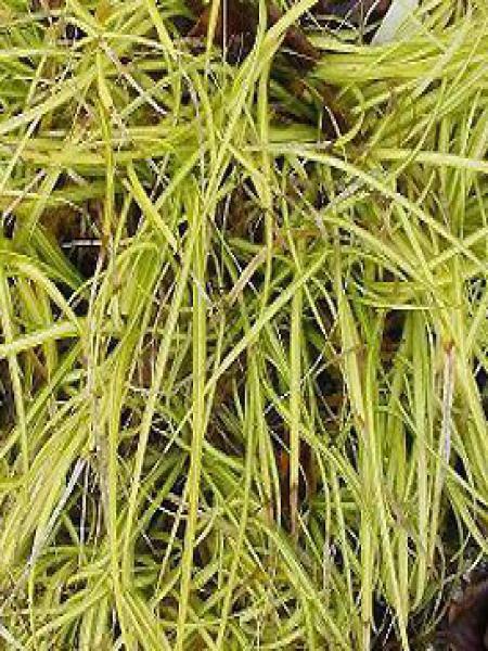 Laîche d'Oshima 'Evergold'