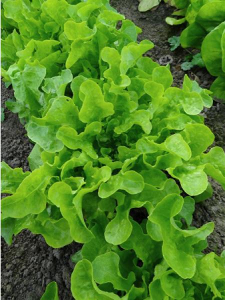 Lactuca laitue achat en ligne sur jardin du pic vert - Laitue a couper feuille de chene blonde ...
