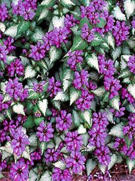 Lamier tacheté 'Purple Dragon'