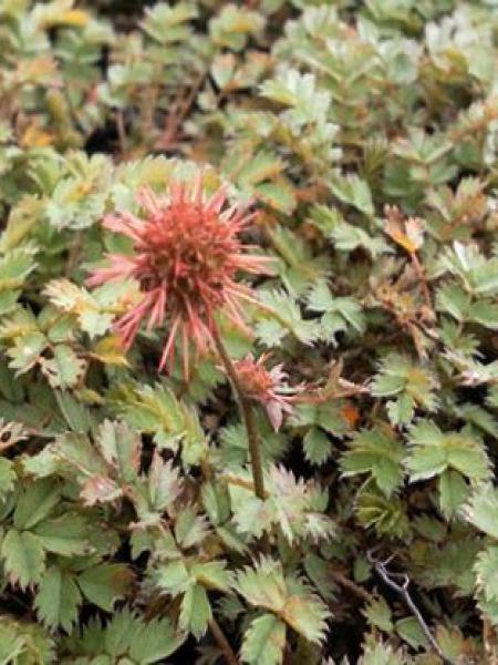Lampourde à petites feuilles 'Dichte Matte'