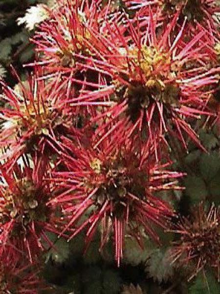 Lampourde à petites feuilles 'Kupferteppich'