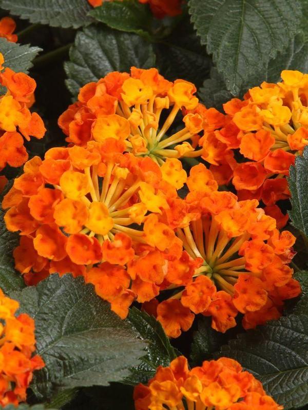 Lantana 'Esperanta Orange'