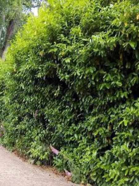 Laurier-Cerise, Laurier palme 'Rotundifolia'