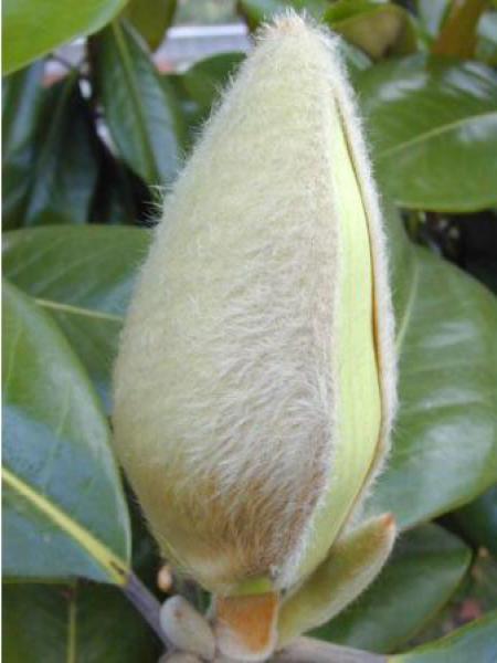 Laurier-tulipier