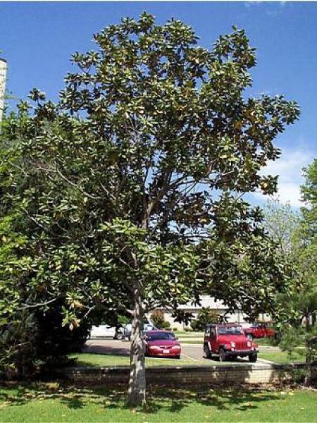 Magnolia Grandiflora Laurier Tulipier Magnolia A Grandes Fleurs
