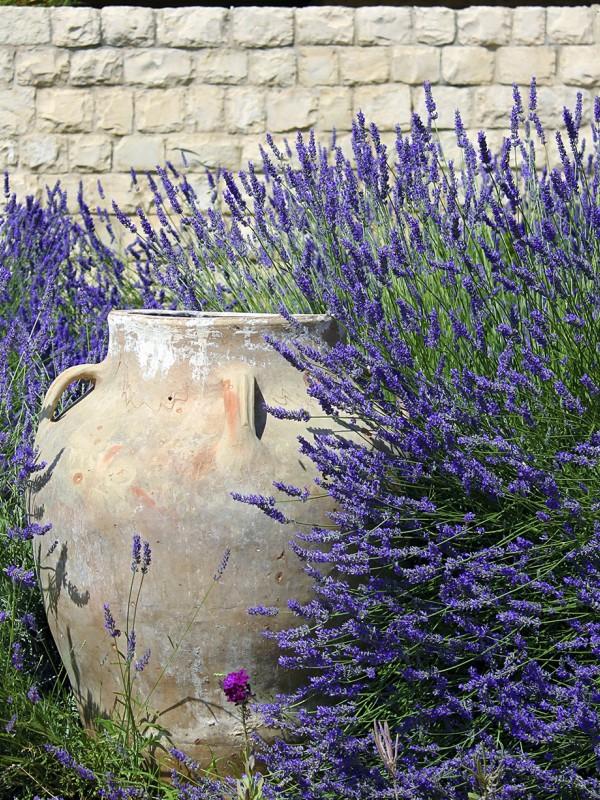 Lavande 'Provence Bleue'