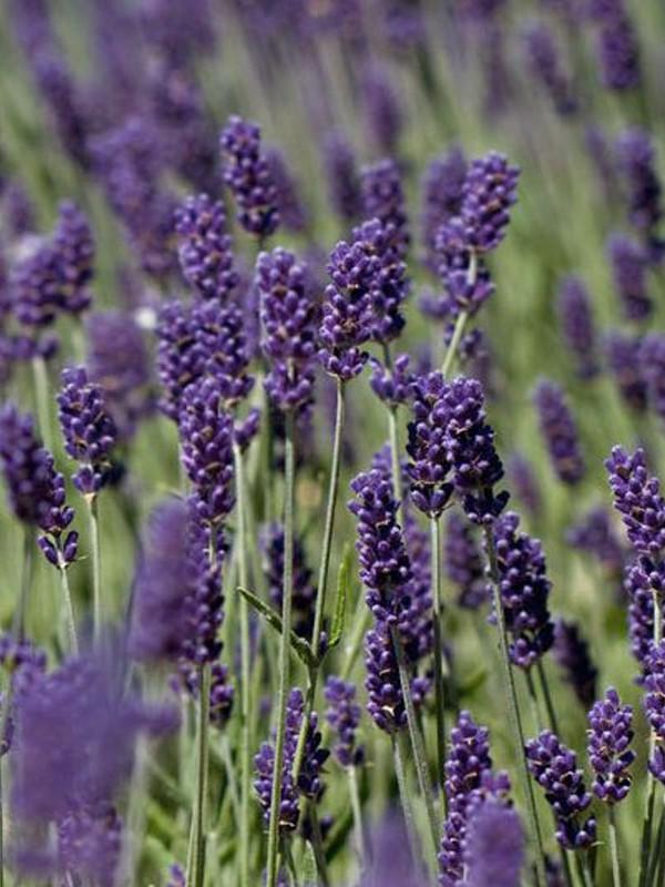 Lavande vraie 'Essence Purple'