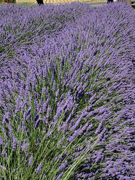 foto de Lavandin 'Grosso' - Lavandula intermedia - Le Jardin du Pic Vert