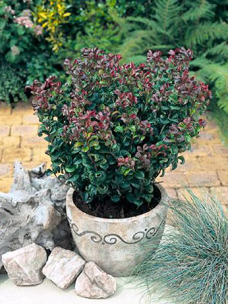 Leucothoe axillaris 'Curly Red'