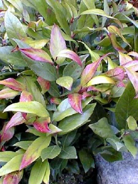 Leucothoe fontanesiana 'Scarletta'