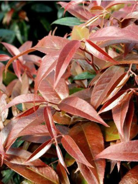 Leucothoe walteri 'Royal Ruby'