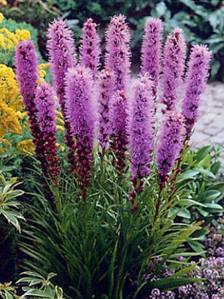 Liatride, Plume du Kansas 'Floristan Violet'