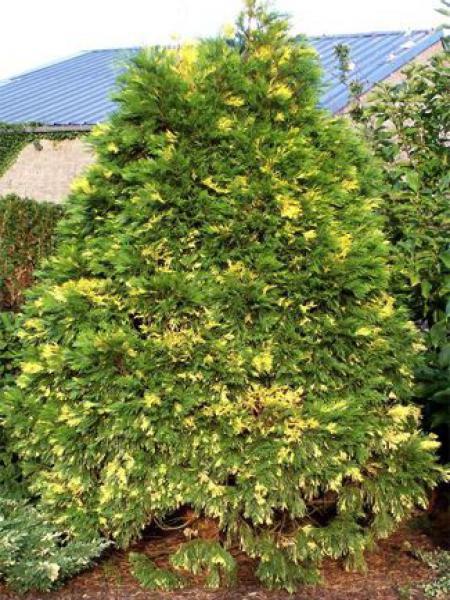 Libocèdre, Cèdre blanc de Californie 'Aureovariegata'