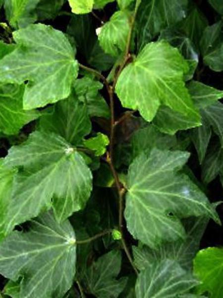 Lierre commun 'Green Ripple'