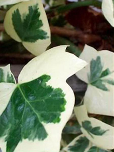 Lierre commun 'Marginata Elegantissima'