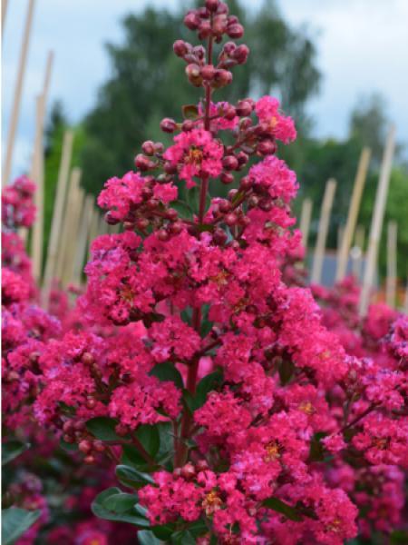 Lilas des Indes 'Fuchsia D Ete® 'indyfus'