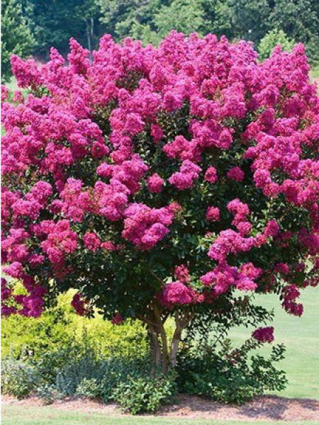 Lilas des Indes 'In Mix Touffe'