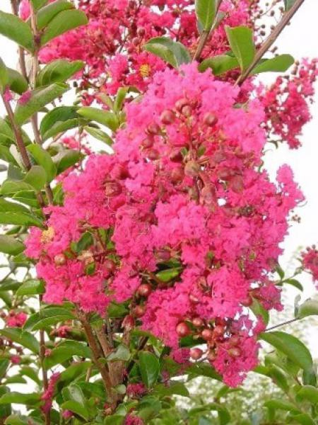 Lilas des Indes 'Red Imperator'