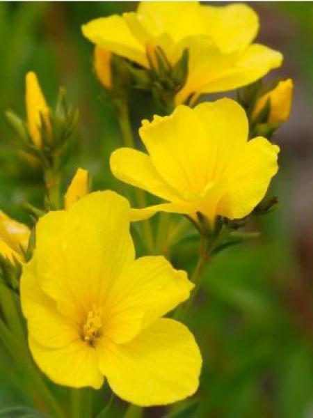 Lin jaune 'Compactum'