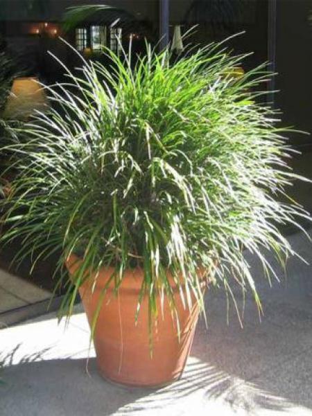 Liriope muscari 'Evergreen Giant'