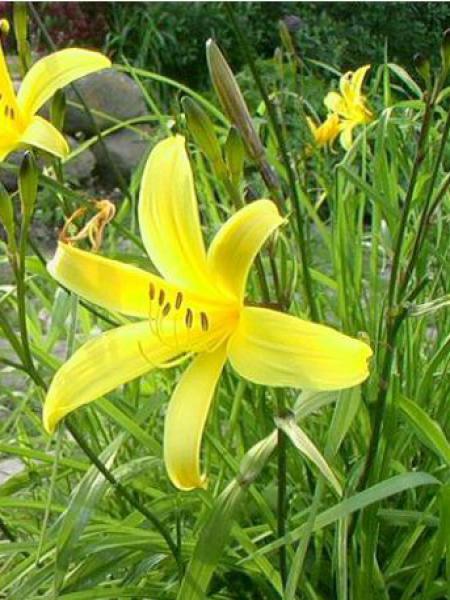 Lis d'un jour, Hémérocalle à fleurs d'asphodèle