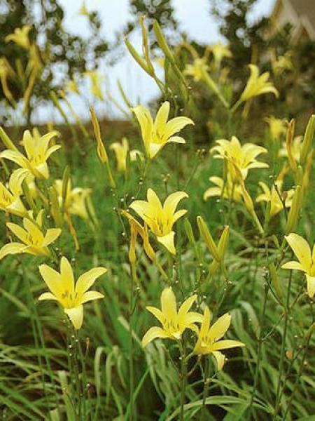 Lis d'un jour, Hémérocalle jaune parfumée