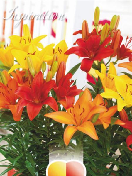 lis nain 39 m lange rouge jaune et orange 39 lilium pixie le jardin du pic vert. Black Bedroom Furniture Sets. Home Design Ideas