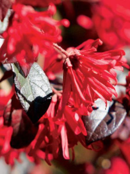 Loropetalum chinense 'Ever Red'®