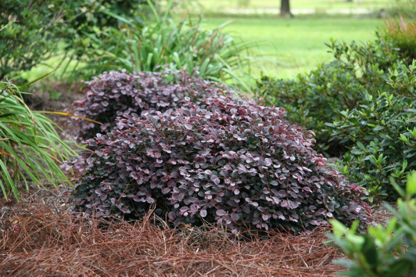 Loropetalum chinense 'Ruby Runner
