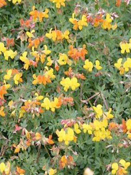 Lotier cornicule 'Pleniflorus'