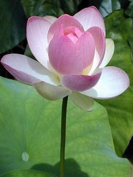 Lotus des Indes, Lotus sacré '-rose-""