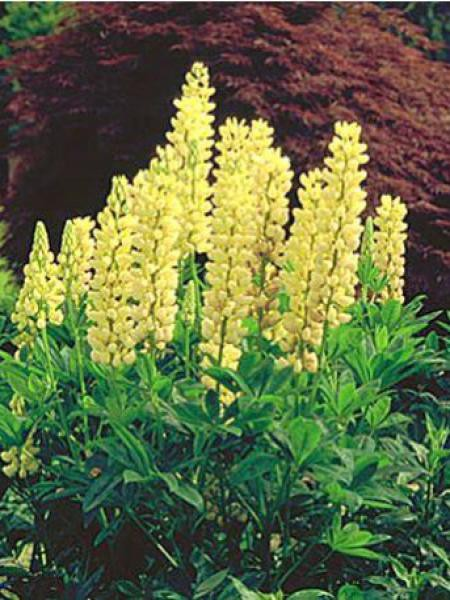 Lupin 'Chandelier'