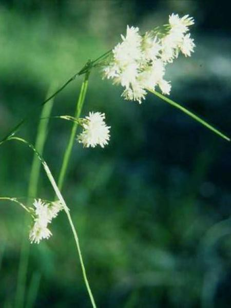Luzule blanche